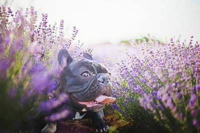 French Bull Dog Wall Art - Digital Art - Lavender Field French Bulldog by WokeAsFluff