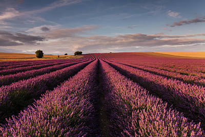 Photograph - Lavender Field by Paul Baggaley