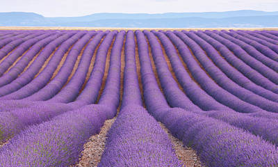 Photograph - Lavender Field, Provence, France by Werner Van Steen