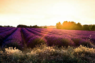 Photograph - Lavender Field, Sun Backlighted by Maica