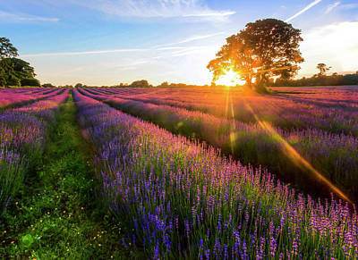 Photograph - Lavender Field Sunset by Oliver Smalley / Ollie Smalley Photography