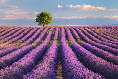 Photograph - Lavender Field With Tree by Cornelia Doerr