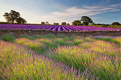 Photograph - Lavender Fields At Dawn by Doug Chinnery