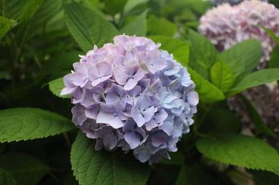 Photograph - Lavender Hydrangea, Cape May by Christopher Lotito