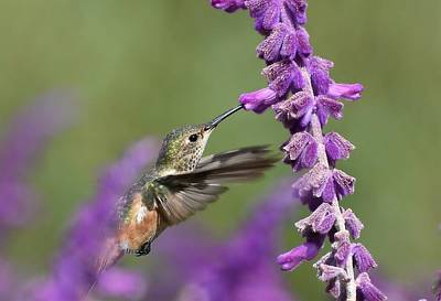 Photograph - Lavender Lover by Fraida Gutovich