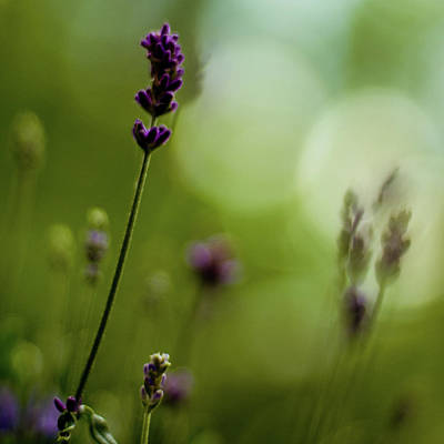 Photograph - Lavender Stalks In June by Lynn Koenig