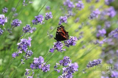 Photograph - Lavender World by Carol Groenen
