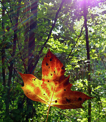 Photograph - Leaf Aglow by Karen Harrison