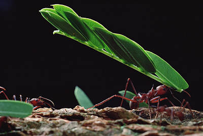 Ant Photograph - Leafcutter Ants Atta Sp, Group Carrying by Mark Moffett/ Minden Pictures