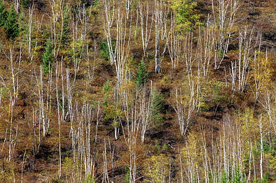 Photograph - Leafless Aspens by Todd Klassy