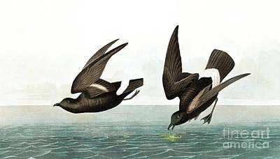 Painting - Least Stormy Petrel, Thalassidroma Pelagica By Audubon by John James Audubon