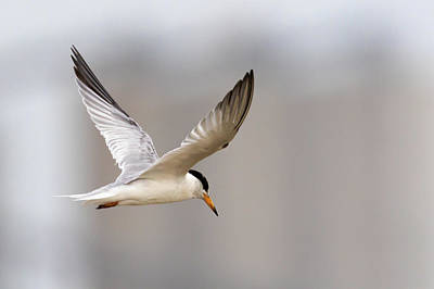 Photograph - Least Tern In Flight by Susan Rissi Tregoning