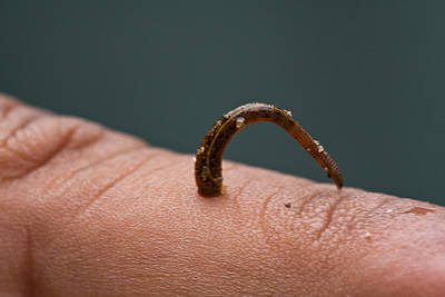 Photograph - Leech Haemadipsa Zeylanica On Finger by David Hosking