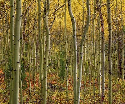 Lemhi Aspens Art Print by Leland D Howard
