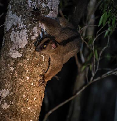 Photograph - Lemur Nocturne by Alex Lapidus