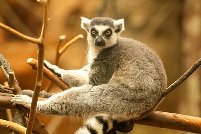Photograph - Lemur by Paul Mangold