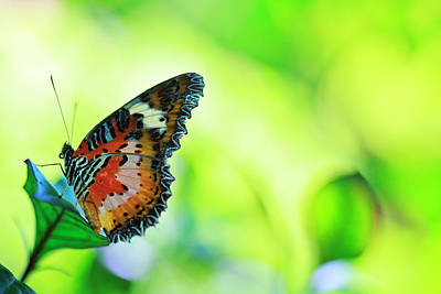 Photograph - Leopard Lacewing Butterfly On Green by Wekwek