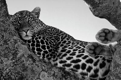 Lying Down Photograph - Leopard Lazing In A Tree by Franz Aberham