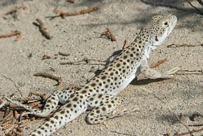 Photograph - Leopard Lizard by Kent Keller