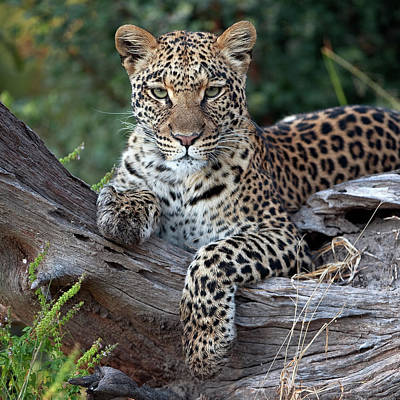 Photograph - Leopard Panthera Pardus Resting by Sergey Gorshkov/ Minden Pictures