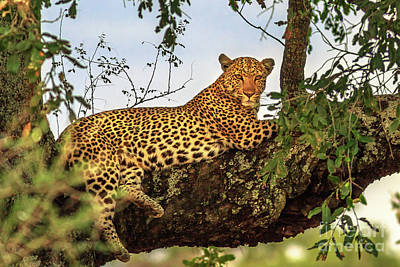 Photograph - Leopard Resting On Tree by Benny Marty