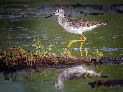 Photograph - Greater Yellow Legs 3208-092518-1cr by Tam Ryan