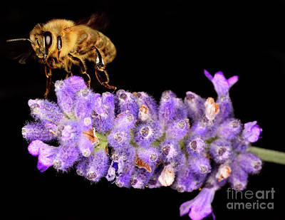 Just Desserts - Let It Bee - Macro Photography Of Bees 23 by Terry Elniski