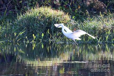 Photograph - Light Landing Egret by Carol Groenen