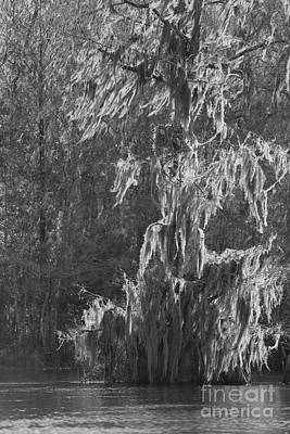Photograph - Light On Cypress Tree Black And White by Carol Groenen