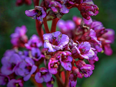 Photograph - Lilac #h9 by Leif Sohlman