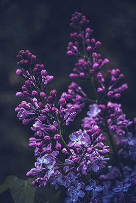 Photograph - Lilac In Early Bloom by Cristina Stefan