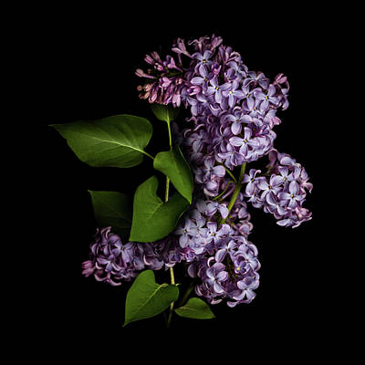 Photograph - Lilac Isolated On Black Background by Sankai