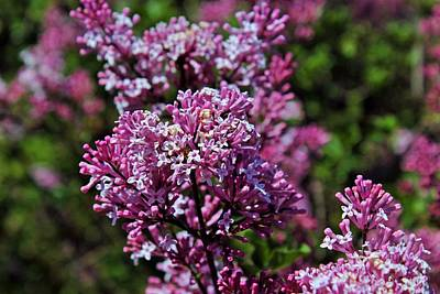 Photograph - Lilacs In Bloom by Michiale Schneider