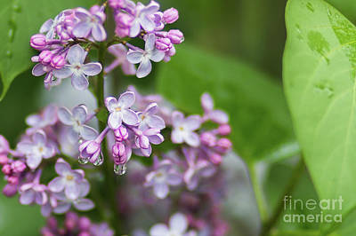 Photograph - Lilacs In The Rain by Sheila Skogen