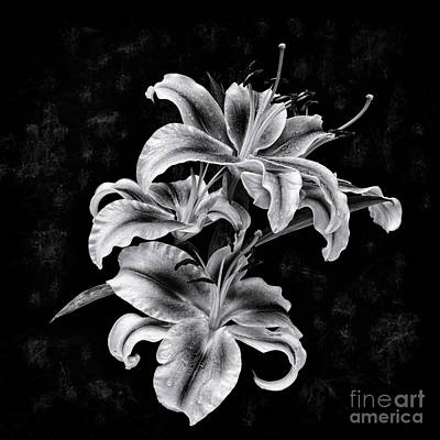 Lilies Royalty-Free and Rights-Managed Images - Lilies by Masako Metz