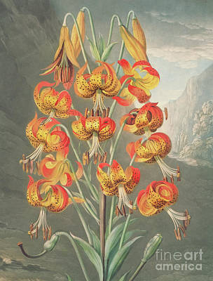 Painting - Lily  Lilium Superbum, By William Ward After Philip Reinagle by William Ward