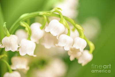 Lilies Photos - Lily of the valley by Delphimages Photo Creations