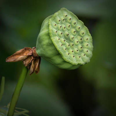Photograph - Lily Pod by Stewart Helberg