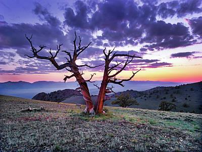 Photograph - Limber Pine Sunset by Leland D Howard