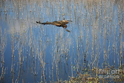 Photograph - Limpkin Flying Over Blue Water  by Carol Groenen
