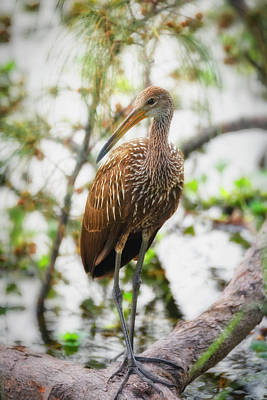 Photograph - Limpkin On A Branch  by Saija Lehtonen