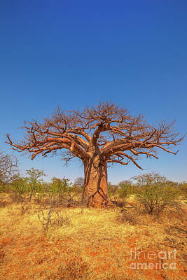 Photograph - Limpopo Baobab Tree by Benny Marty