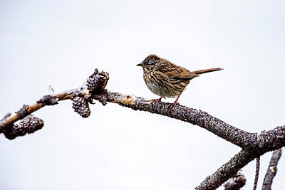 Photograph - Lincoln's Sparrow by David Morefield