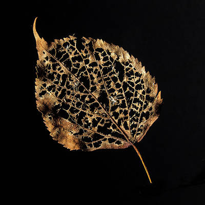 Ira Marcus Royalty-Free and Rights-Managed Images - Linden Leaf One by Ira Marcus