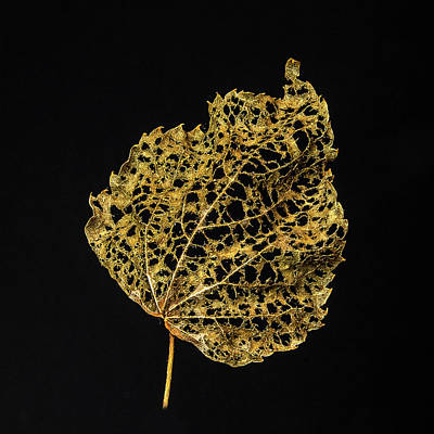 Ira Marcus Royalty-Free and Rights-Managed Images - Linden Leaf Two by Ira Marcus