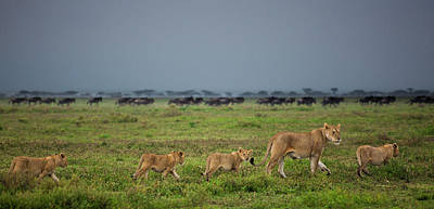Photograph - Lion And Cubs Crossing The Grassland In by Mint Images - Art Wolfe
