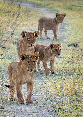 Photograph - Lion Cubs On The Trail by John Rodrigues
