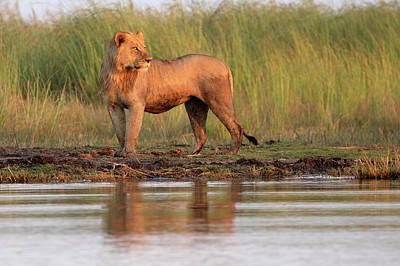 Photograph - Lion In Botswana by John Rodrigues