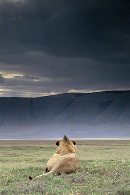 Photograph - Lion Panthera Leo Resting Under Stormy by Art Wolfe