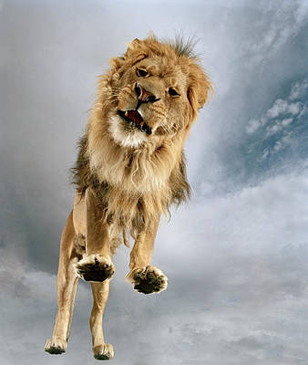 Photograph - Lion Panthera Leo, View From Low Angle by Matthias Clamer